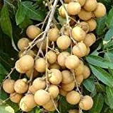Dragon Eye Sweet Fruit,Gnome Longan Seeds Potted Garden Plants...