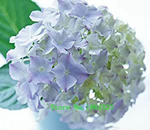 Calientes! 20 colores 300 Hydrangea semillas / bolsa de semillas de flores de hortensia en maceta de geranios balcón hortensias semillas de plantas de interior