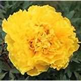 Wotefusi 5pcs Golden Peony Flower Seeds Home Plant DIY Garden