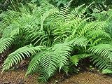 Classy Groundcovers, Dryopteris ludoviciana Aspidium ludovicianum, D. floridana, Nephrodium floridanum (25 Pots, 3 1/2 inches Square)