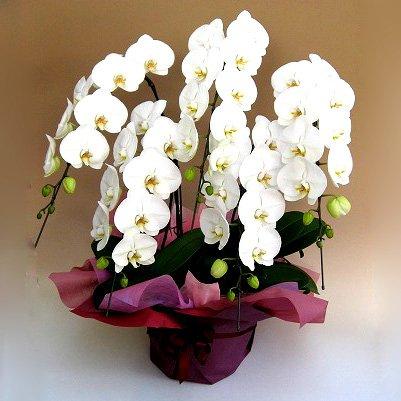 グランドグルー 胡蝶蘭 5本立ち 白色 大輪 花 ラン フラワーギフト プレゼント コチョウラン B07B62FDN2