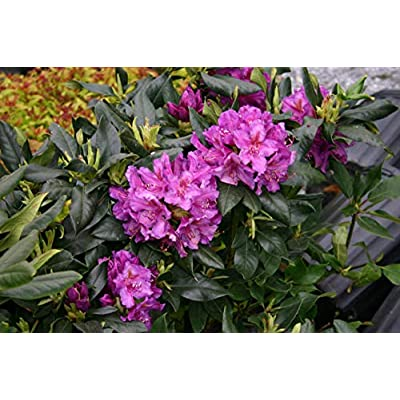 """Rhododendron Lee's Dark Purple - Muted Purple Bloom - Grows Seven Feet Tall - 8"""" to 12"""" Wide Plant – Typically Two Gallon : Garden & Outdoor"""