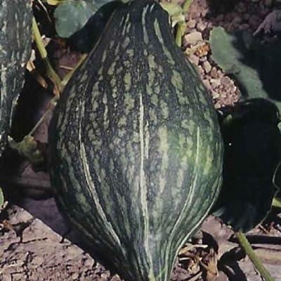 Squash Green Hubbard Garden Heirloom Vegetable BULK 300 Seeds