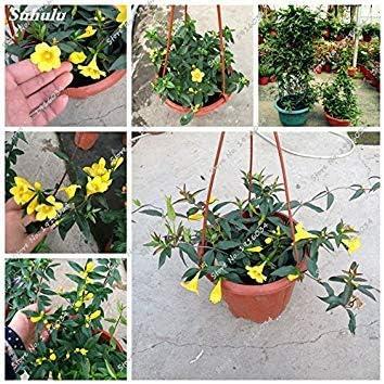 Vistaric Amarillo Semillas de jazmín Bonsai Flor Plantas rastreras Hogar Jardín del hogar Adorno Macetas Flower Street 40 Unids Fácil Crecer: Amazon.es: Jardín