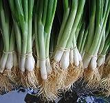He Shi Ko Bunching Onion Scallions 200 Seeds (Organic) UPC 647923989571