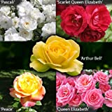 Garden Glamour Rose Bush Collection in 5 Varieties bare root