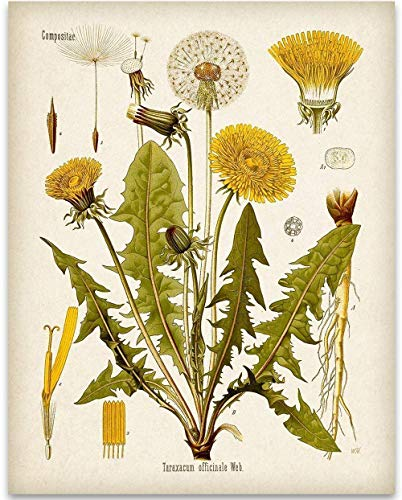 Dandelion Botanical Illustration - 11x14 Unframed Art Print - Great Home Decor and Gift for Nature Lovers, Also Makes a Great Gift Under $15