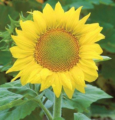 David's Garden Seeds Sunflower Zebulon D1709 (Yellow) 25 Open Pollinated Seeds