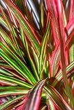 American Plant Exchange Dracena Marginata Colorama