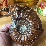 Autumn Water ''Goat Horn Fossil Ammonite Douvilleiceras Madagascar