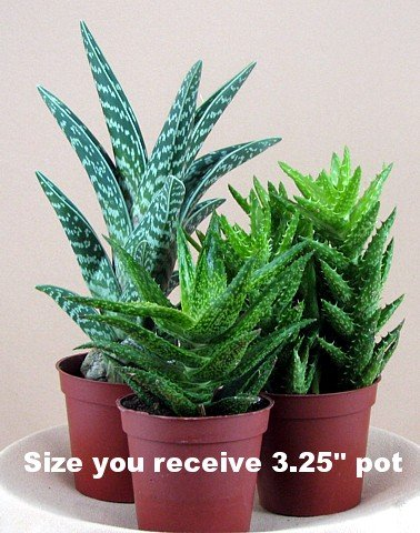 air purifying plants - 6