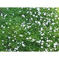 Sagina subulata - Sternmoos, 50 Pflanzen im 5/6 Topf
