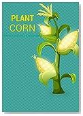 Plant corn: How to Plant Corn