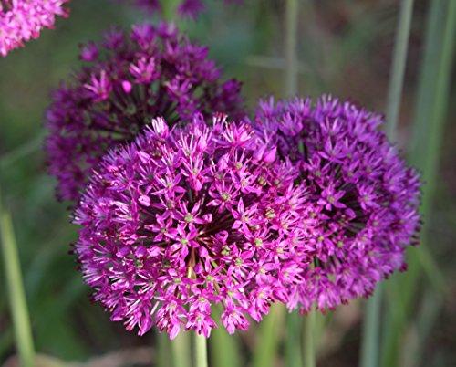 Blumenhandel Ullrich Allium Purpel Sensation Zierlauch 25 Blumenzwiebeln