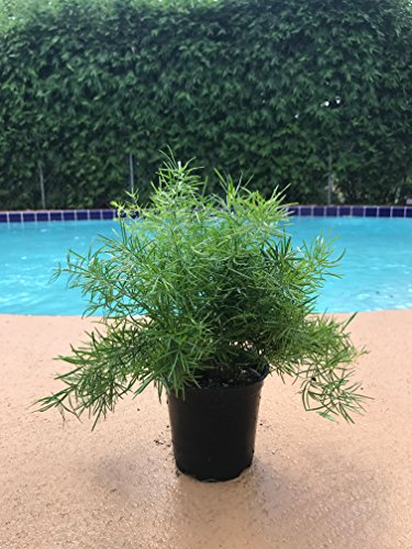 Asparagus Ferns (Asparagus Fern - Densiflorus - Sprengeri Fern Live Plant Easy to Grow Houseplant)