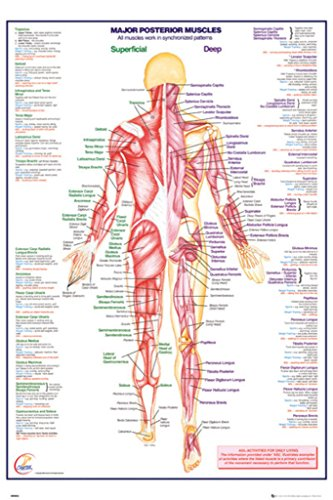 Human Body Major Posterior Muscles Reference Chart Poster 24x36 inch