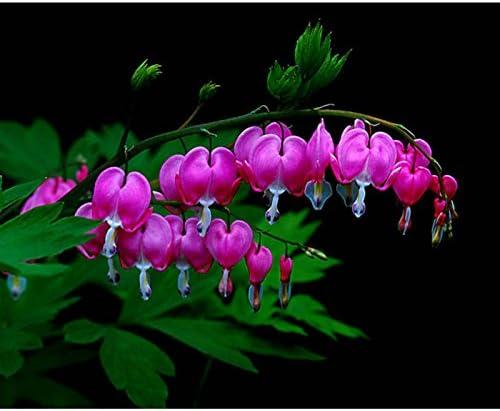 10pcs vivace spectabilis Herbes Dicentra Bleeding Heart Plante Graines de fleurs