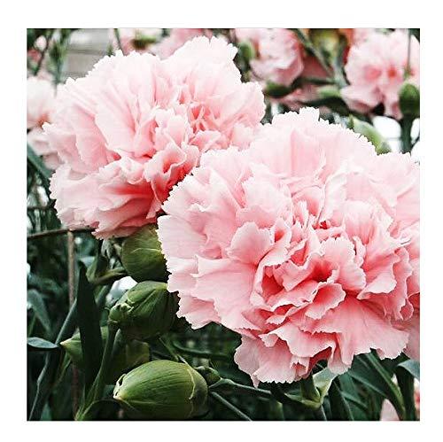 Light Pink La France Carnation Seeds