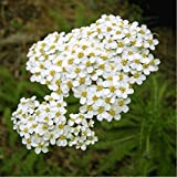 Herbal Yarrow (Achillea millefolium L) Medicinal Plant Heirloom Seeds, Powerful Remedy