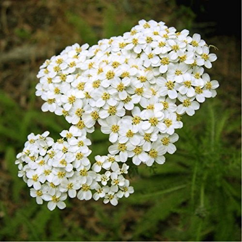 Herbal Yarrow (Achillea millefolium L) Medicinal Plant Heirloom Seeds, Powerful Remedy (Yarrow Seeds)