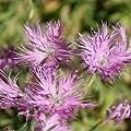 Outsidepride Dianthus - Superbus Rose