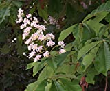 8 seeds Horse Chestnut Tree Seeds For Planting