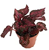"""Red Robin Rex Begonia Plant - 4"""" Pot - Great Houseplant"""