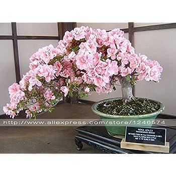 Amazon.com: Hot Sale. 10pcs Rare Sakura semillas Bonsai ...