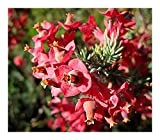 Erica glauca - heath - 15 seeds