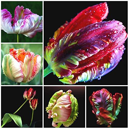 - Decorative Flowers Plants for Home Garden 30Pcs Rare Parrot Tulip Seeds Flower Plant Home Garden Roof Bonsai Balcony Decor - 30Pcs Parrot Tulip Seeds