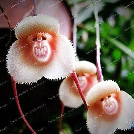 10pcs Merkwürdige Selten Affe Gesicht Blumen Pflanze Samen Vier Jahreszeiten L