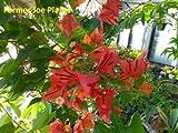 Bougainvillea -Orient - Orange/Bronze - 1 Live Plant - Quart Pot