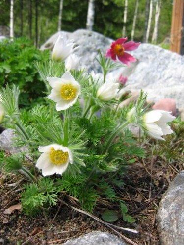 (25 WHITE ANEMONE Pulsatilla Vulgaris / PASQUE FLOWER Seeds *Comb S/H)