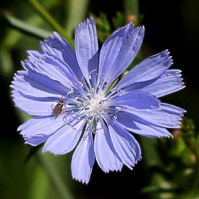 Chicory Seeds - 5 LBS