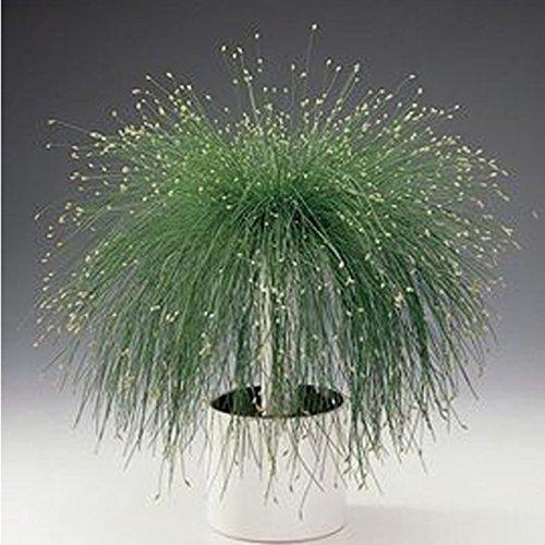 Hot Sale! 100 Seeds / Pack, Isolepis Cernua Seeds, Fiber Optic Grass Seeds, Color Mixture