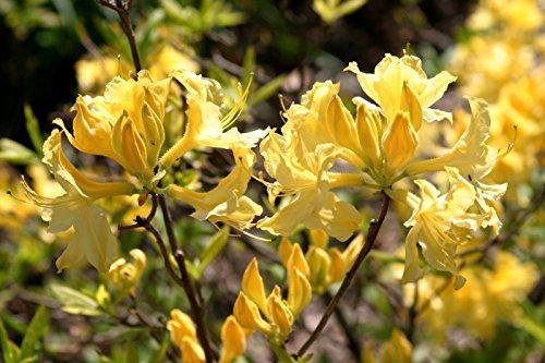 15-giant-yellow-azalea-seedsrhododendron-6-to-10-ftsweet-fragrantshowy1232