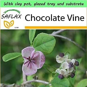 SAFLAX - Garden to Go - Chocolate Vine - 10 seeds - Akebia quinata