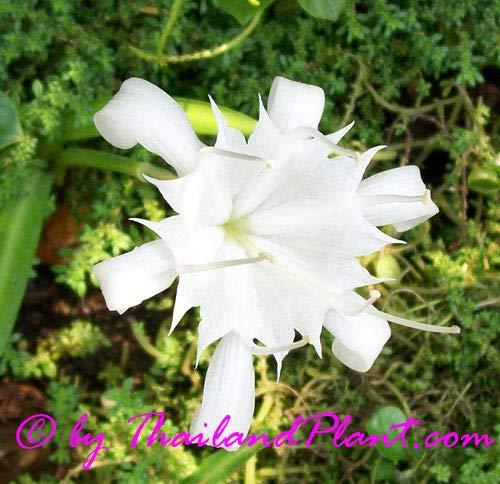 1 Bulb of SEA Daffodil Pancratium ZEYLANICUM Plant by Annona