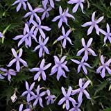 Laurentia (Isotoma) Gemini Blue 1,000 Seeds