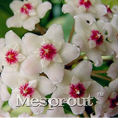 Rare Hoya kerrii Bonsai Balcony Flower Hoya kerrii Bonsai Beautiful Garden Orchids Bonsai -100 PCS - (Color: Mix): Garden & Outdoor
