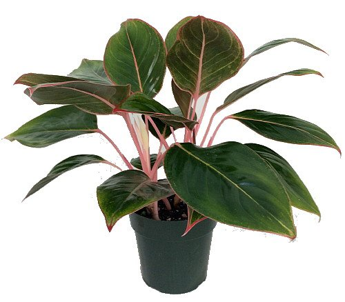 Evergreen Plant Chinese (Sapphire Suzanne Chinese Evergreen Plant - Aglaonema - Grows in Dim Light-6