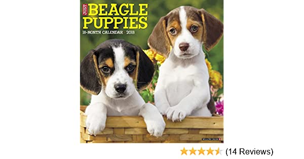 Must see Wisconsin Beagle Adorable Dog - 51s1-XXC9YL  Perfect Image Reference_6952  .jpg