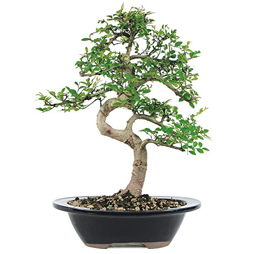Bonsai Tree Elm Chinese (Brussel's Live Chinese Elm Outdoor Bonsai Tree - 7 Years Old; 8