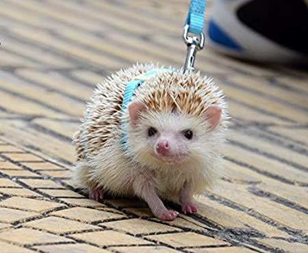007c5dbbf3c2 Amazon.com : Adjustable Hedgehog Harness for Training Playing Traction Rope  (Blue) : Pet Supplies