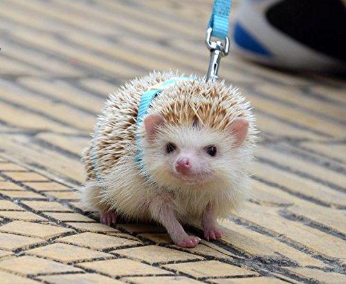 Hedgehog Pet Price >> Amazon Com Adjustable Hedgehog Harness For Training
