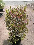 Purple Hope Bush 10 Seeds - Dodonaea - Herb