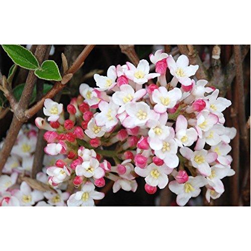 burkwood viburnum