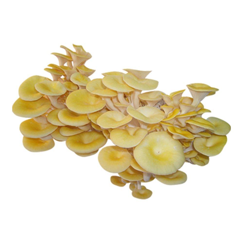 XXL Limonenpilz-Körnerbrut Pilzbrut, Pilze selber züchten, Pilzzucht
