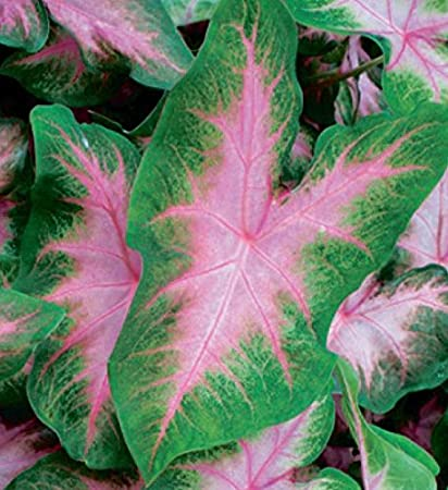 1 Plants 4 to 8  Tall Ship in 3 Pot Red and Green Foliage Caladium