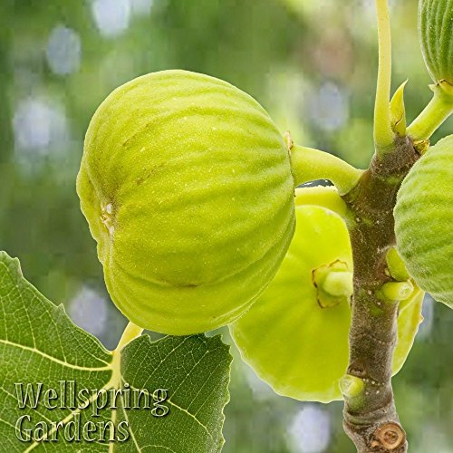 Ficus carica White Marseilles Fig Tree LIVE PLANT St Anthony Cold Hardy Zone 6